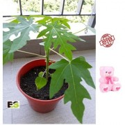 Papaya Plant Live Natural Rolling With Gift Anniversary Gift Mug