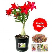 Adenium Red Natural palnt with freebie