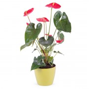 Interflora Planta de Anthurium Interflora