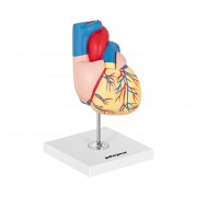 Heart Model - separable into 2 parts - life-sized