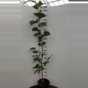 Plantenwinkel.nl Magnolia struik Black Tulip