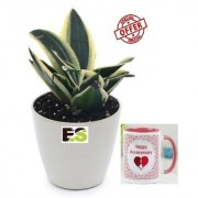 MINI SNAKE PLANT LIVE ROLLING With Gift Anniversary Gift Mug