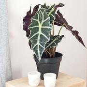 Interflora Alocasia amazonica