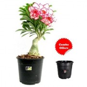 PG Adenium PINK DOUBLE COLOR with FREEBIE