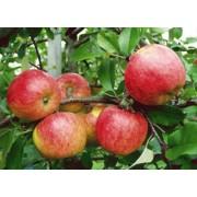 Măr Topaz