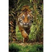Geen Poster Siberische tijger 91 x 61 cm