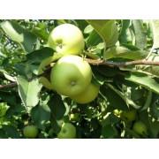 Măr Charden