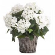 Bellatio flowers & plants Tuinplant Hortensia wit 45 cm