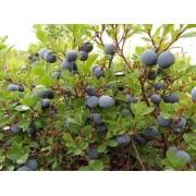 Blauwe Bosbes Vaccinium corymbosum 'Jersey'