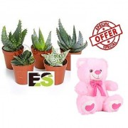 SECCULENT ES BEST COMBO OF 5 PCS WITH FREE COMBO GIFT - 6 TEDDYBEAR-PINK
