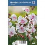 "Plantenwinkel.nl Ooievaarsbek (geranium cantabrigiense ""Biokovo"") schaduwplant - 12 stuks"