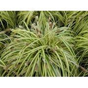 "Carex ""Evergold"""
