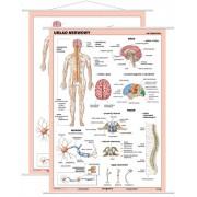 Układ nerwowy człowieka - plansza dydaktyczna
