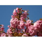Japán díszcseresznye / Prunus serrulata Sp. - 250-300