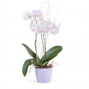 Interflora Planta de Phalaenopsis Premium