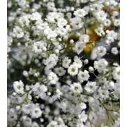 Gipskruid Paniculata - Gypsophila