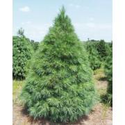 Simafenyő vagy selyemfenyő / Pinus strobus - 100-125