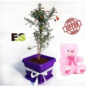 Ornamental Pomegranate Gift Plant With Gift Anniversary Gift Mug