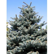 Glauca ezüstfenyő / Picea pungens 'Glauca' - 100-125