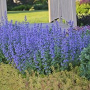 Kocúrnik záhradný (Nepeta faassenii)