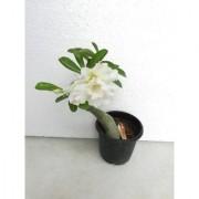 Raj Garden Plants Adenium Grafted White Colour