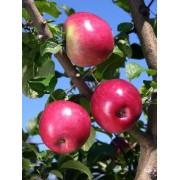 Măr Liberty