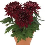 Dark Red Crysenthemum