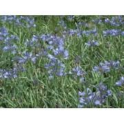 """Agapanthus """"Mini Blue"""""""