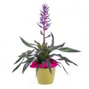 Planta de Viriesia Bromelia - Flores a Domicilio