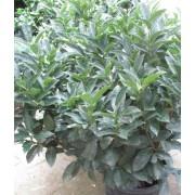 Cippora babérmeggy / Prunus laurocerasus 'Cippora' - 80-100