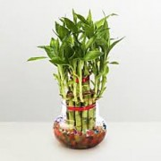 2 Layer Lucky Bamboo Plant with pot