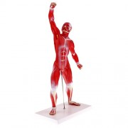 NF&E 50cm Height Human Muscle Superficial Muscle Torso Skeleton Model with Base Lab Demonstration Display Science Toy