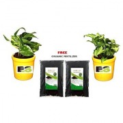 Es Combo Money Plant With Yellow Pot With Freebie
