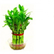 2 Layer Lucky Bamboo Plants Set of 10 PCS