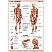 Układ mięśniowy człowieka - plansza dydaktyczna