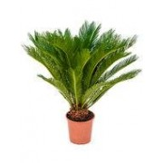 Cycas (palm) Revoluta