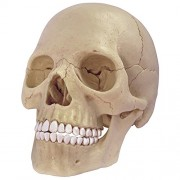 4D Human Anatomy Exploded Skull Model 3D Puzzle