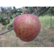 Măr Gustav durabil