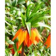 Fritillaria Imperialis Aurora