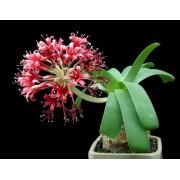 Karoo Lily