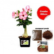 Adenium Pink Natural Plant With Cocopeat Freebie Combo