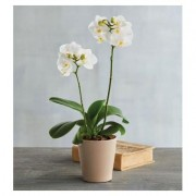 """3"""""""" White Orchid"""