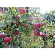 Măr Frumos de Voinesti