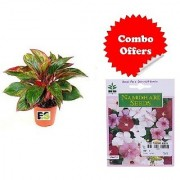 ES Dracaena Red Plant with Combo with Indica Hybrid Seeds