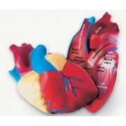 Serce człowieka - model przekrojowy z pianki