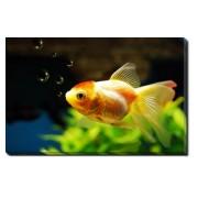 Tablou Canvas Goldfish and Bubbles