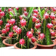 PuspitaNursery Dragon Fruit Dwarf Indian Variety Live Plant 6 to 10 in Size Comes with Pollybag.