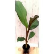 Warentuin Natuurlijk Bananenplant eenjarig rood