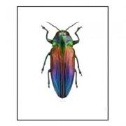 Belionota Tricolor poster