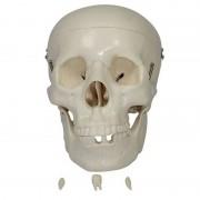 Crânio de Adulto em PVC (3 partes)